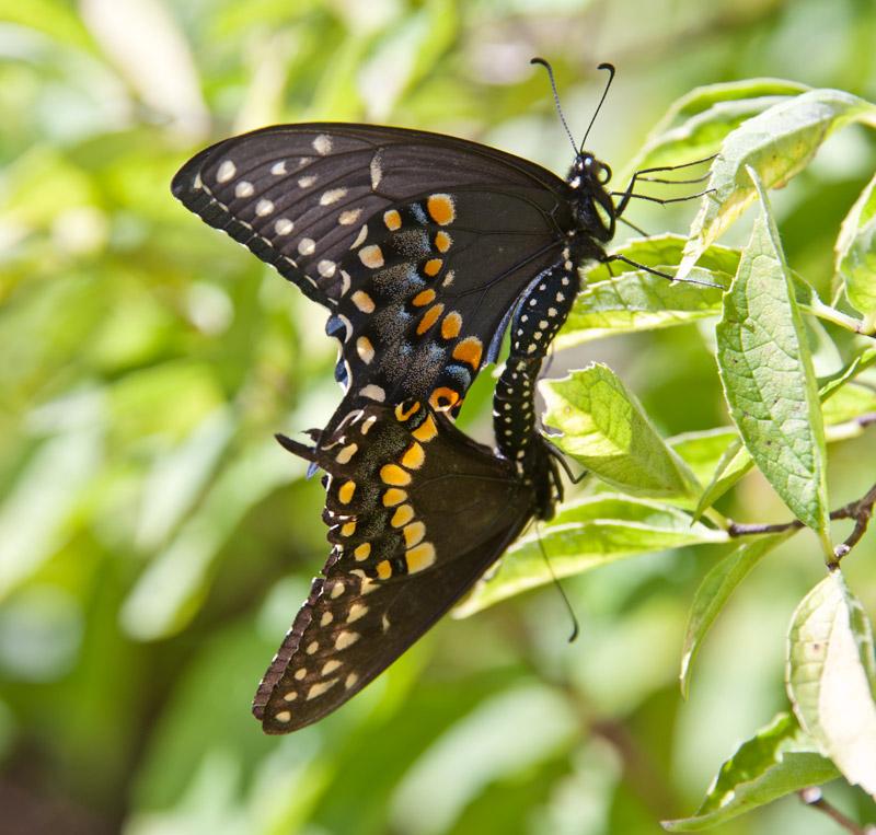 Mating Swallowtails
