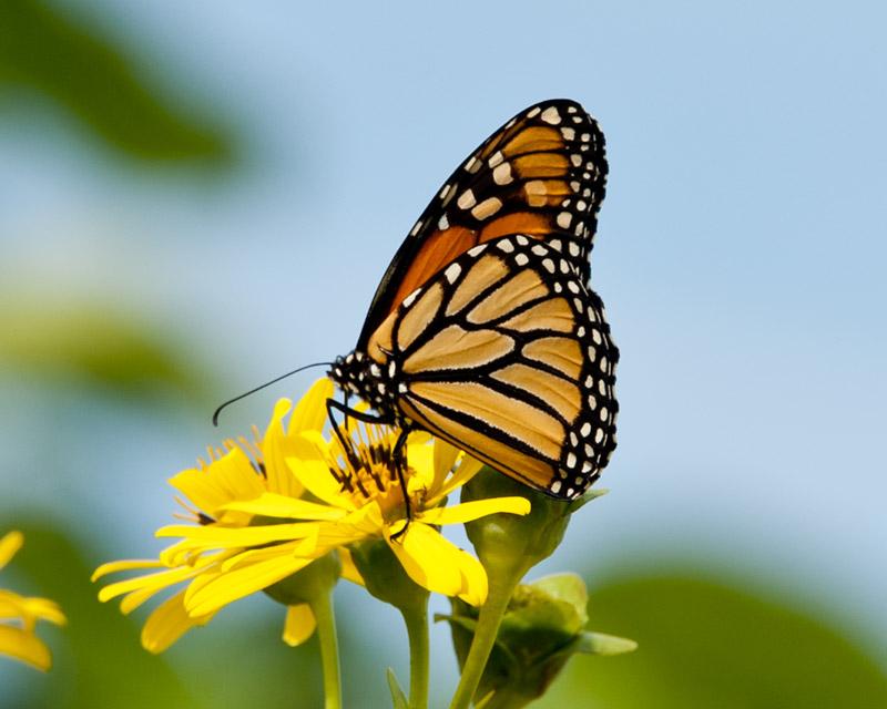 Single monarch