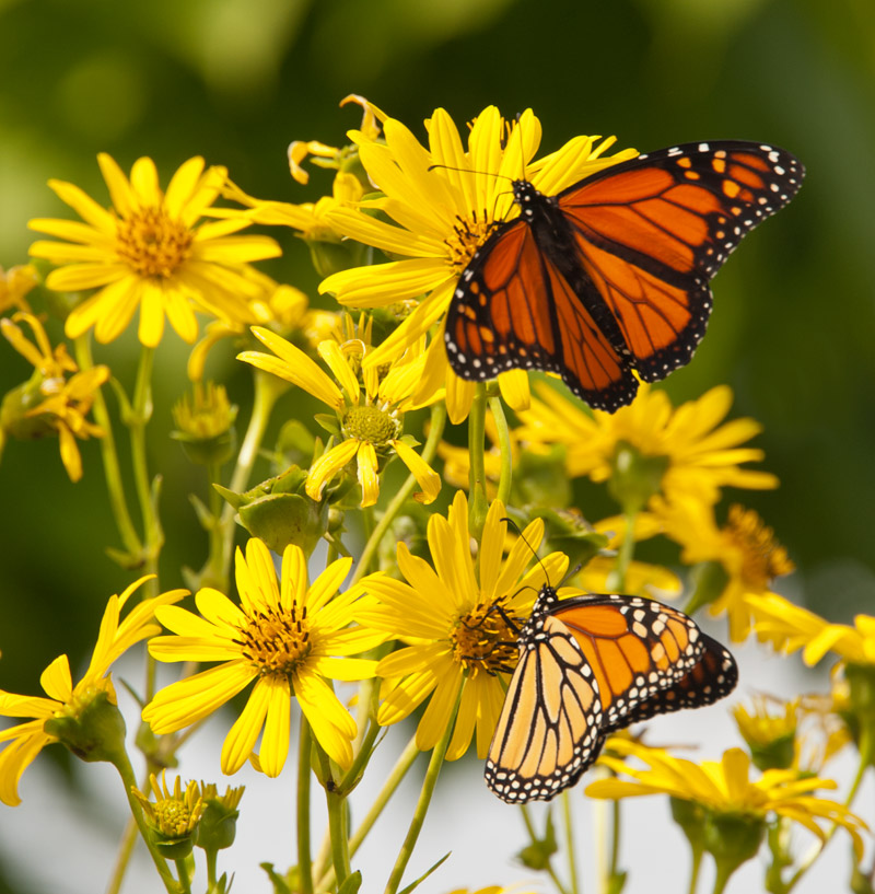 Two female monarchs